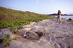 olive ridley turtle laying eggs at Playa Tamarindo.