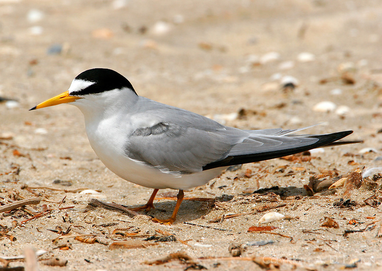 Adult least tern in breeding plumage