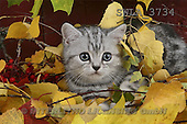 Carl, ANIMALS, photos(SWLA3734,#A#) Katzen, gatos