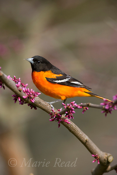 Baltimore Oriole (Icterus galbula) male perched in flowering redbud in spring, New York, USA.