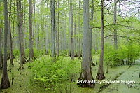 63895-14604 Bald Cypress trees (Taxodium distichum) Heron Pond Little Black Slough, Johnson Co. IL