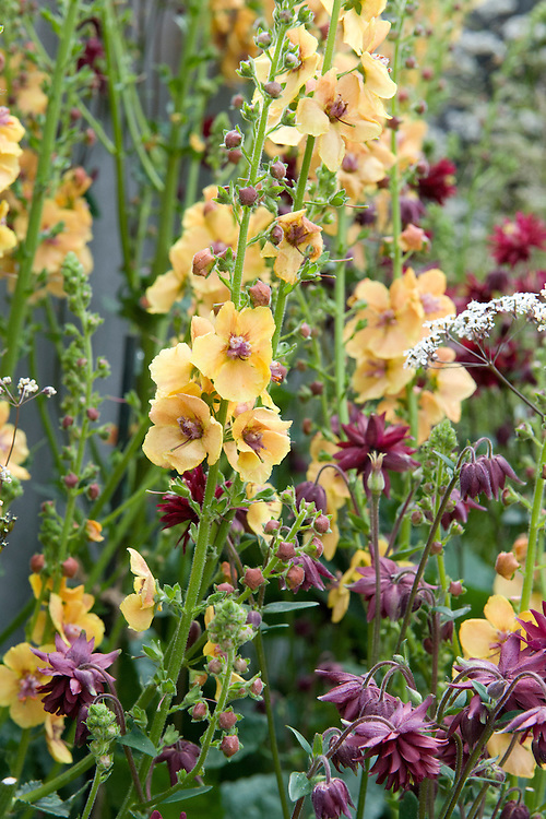 Yellow-orange mullein (Verbascum 'Clementine') with Aquilegia vulgaris var. stellata 'Ruby Port'. Nature Ascending garden, designed by Angus Thompson and Jane Brockbank, gold medal winner, RHS Chelsea Flower Show 2009.