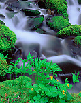 Olympic National Park, WA   <br /> Stream Violet (Viola glabella) and False Solomon's Seal (Smilacina racemosa) border a stream in Upper Soleduck Valley