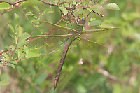 Common Green Darner (Anax Junius) Dragonfly - Teneral Female, Harriman State Park, Stony Point, Rockland County, New York