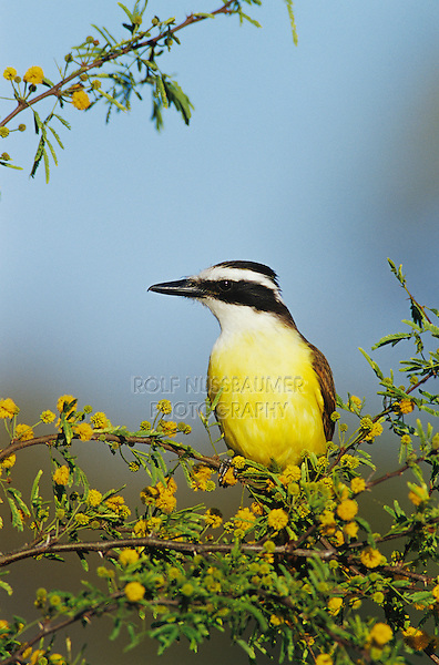 Great Kiskadee, Pitangus sulphuratus,adult on blooming Huisache (Acacia farnesiana), Lake Corpus Christi, Texas, USA, April 2003