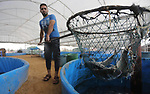 A Palestinian man carries fish at a fish farm, in Gaza city, on Sept. 14, 2017. Photo by Mohammed Asad