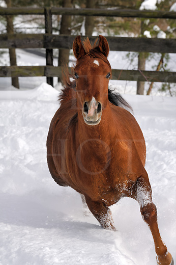 Young horse running in deep powder snow with fence and forest background, front view head on, Pennsylvania, PA, USA.