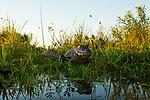 Jacare Caiman (Caiman yacare) in marsh, Ibera Provincial Reserve, Ibera Wetlands, Argentina