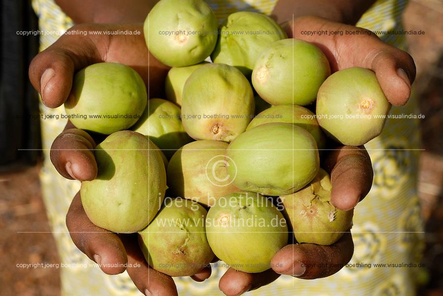 BURKINA FASO, Dorf Sesuala bei Pó , Karite oder Shea Nuesse  - BURKINA FASO, village Sesuala near Pó , shea nuts of shea tree