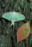 Luna Moth female on tree trunk<br /> Actias luna