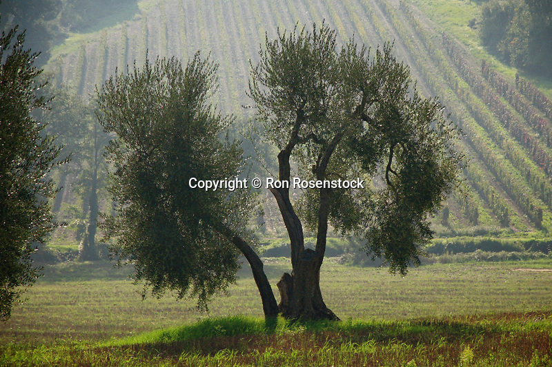 Old Olive Tree, Sant' Antimo, Pienza, Italy, International