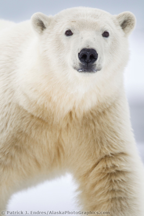 Polar bear portrait, arctic barrier island in Alaska's Beaufort Sea, Arctic National Wildlife Refuge.