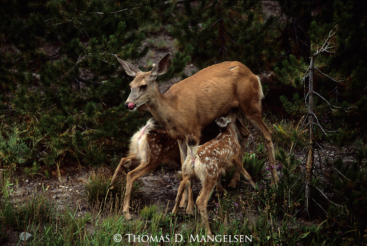 A mother mule deer nurses her twin fawns in Yellowstone National Park, Wyoming.