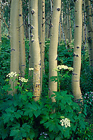 Cow parsnip and aspen, Ohio Pass Road<br />