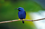 Shining Honeycreeper (Cyanerees ulcidus) - male, bright blue  . animal - birds. .Trinidad....