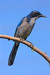 Western Scrub Jay, Descanso Gardens, Southern California