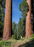 "A woman walks between two giant sequoias, Sequoiadendron giganteum, near Sequoia Crest, CA's ""ski run""."