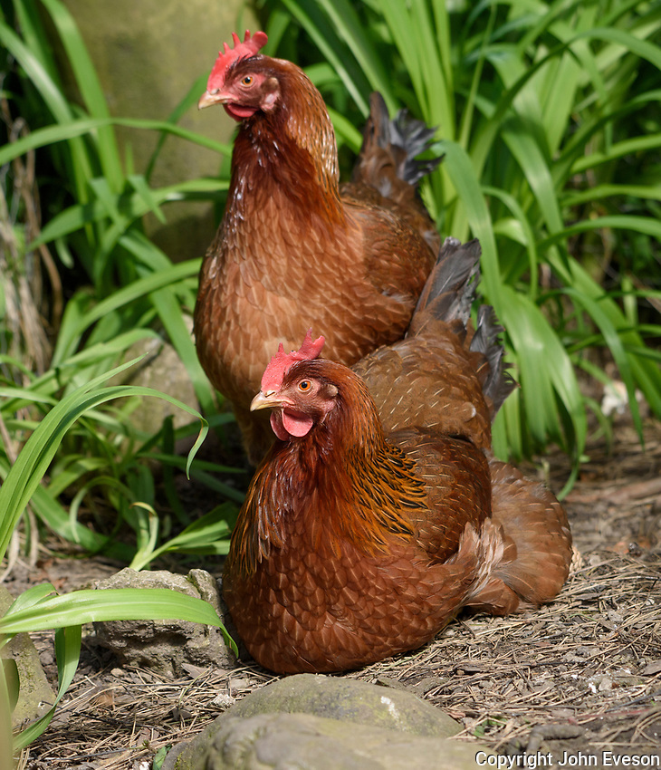 Close up of a Welsummer or Welsumer chicken, a Dutch breed of domestic chicken, in a garden, Chipping, Lancashire.