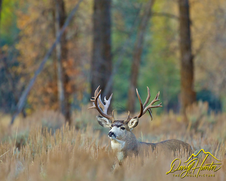 Monster, Mule Deer, Buck, Grand Teton National Park, Jackson Hole, Wyoming, trophy, big,