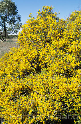 Wait-a-While (Acacia colletioides) a wattle with incredibly pungent and beautiful perfume. Near Nyngan, New South Wales