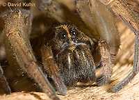 1006-0915  Wolf Spider, Details of Head, Eyes and Fangs, Hogna spp. [formerly Lycosa spp.]  © David Kuhn/Dwight Kuhn Photography