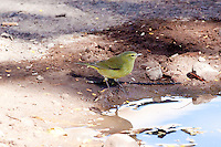 Orange-Crowned Warbler, Loreto, Baja Sur, Mexico