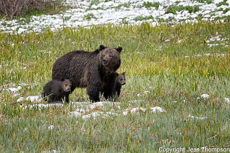 Grizzly Bear with two cubs, Yellowstone National Park