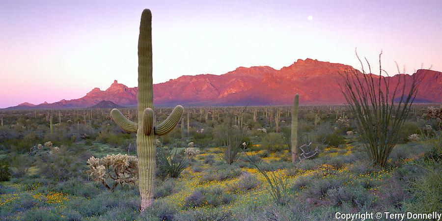 Organ Pipe Cactus National Monument, AZ <br /> Saguaro cactus (Cereus gigantea) in a field of poppies (Esch. californica) with moonrise ove Ajo Mountains