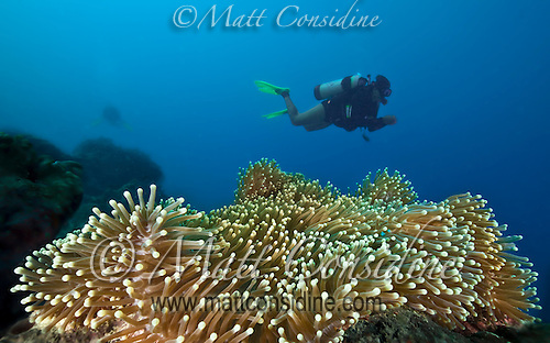Diver above large anemone, Yap Micronesia (Photo by Matt Considine - Images of Asia Collection) (Matt Considine)