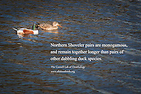 A male and female Northern shoveler with text from the Cornell Lab of Ornithology describing their monogamous behaviour.