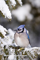 01288-05512 Blue Jay (Cyanocitta cristata) in fir tree in winter, Marion Co., IL