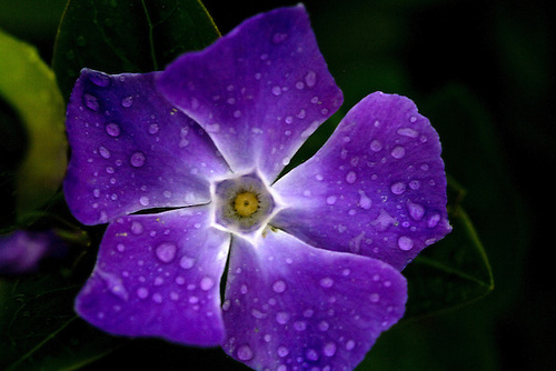 RAINDROPS APPEAR ON A VIOLET PERIWINKLE FLOWER AS SEEN ALONG THE PACIFIC OCEAN COASTLINE