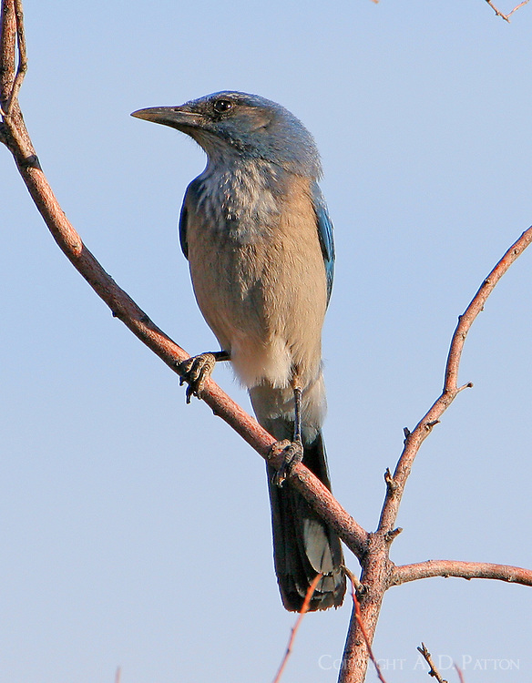 Adult western scrub-jay in tree