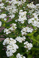 Phlox paniculata 'Jade' (19) white flowers with green tips