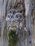 great grey owl or great gray owl (Strix nebulosa), Washington