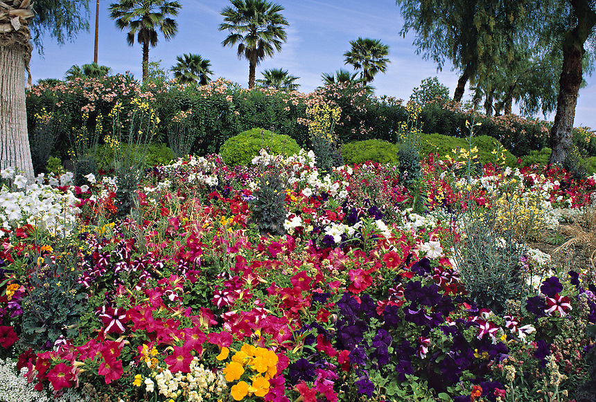 Petunias palm trees garden Palm Springs California