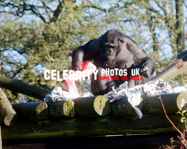 early Christmas for the  chimpanzees with festive treats at ZSL Whipsnade Zoo, Dunstable, Bedfordshire. 17th December 2013
