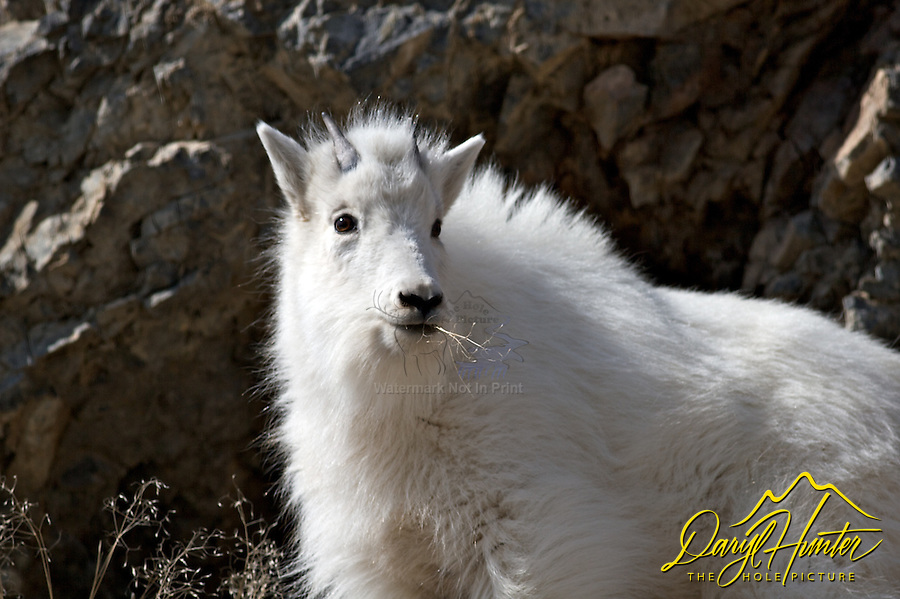 Mountain Goat, Kid, portrait, Snake River Range, Alpine, Wyoming