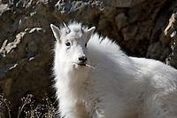 Mountain Goat, Kid, portrait, Snake River Range, Alpine, Wyoming