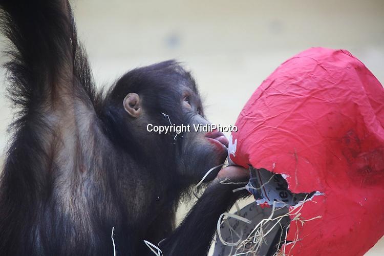 Foto: VidiPhoto..RHENEN - Wil je me zoenen? De orang oetans van Ouwehands Dierenpark in Rhenen kregen woensdag in het kader van Valentijnsdag rode harten van papier-maché. De harten waren gevuld met allerlei lekkers, maar ook het papier zelf bleek nogal smakelijk. Met als gevolg: rode zoenlippen..