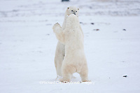 01874-11819 Polar Bears (Ursus maritimus) sparring / fighting in snow, Churchill Wildlife Management Area, Churchill, MB Canada