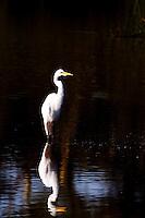 Great White Egret (Ardea Alba)..Nyamithi pan..May, Winter 2009..Ndumo Game Reserve, Kwazulu-Natal, South Africa.