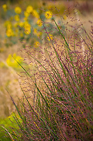 Panicum virgatum switchgrass purple flowering grass in autumn at Porter Plains Garden meadow at Denver Botanic Garden