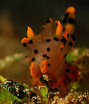 Thecacera Sp1. Nudibranch , Thecacera Pacifica , Dorid Nudibranch, Lembeh Straits, Sulawesi Sea, Indonesia, Amazing Underwater Photography