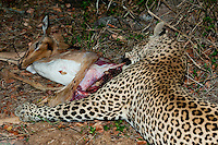 Leopards will often feed on their prey for a short while before storing it up in a tree. The rump is always the choicest part and often eaten first - this lightens the weight of the carcass and makes it easier to carry up a tree.