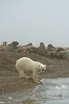 Ours blanc et morses. promontoire Torell  Nordaustlandet. Pendant longtemps, les scientifiques assuraient que les ours ne s attaquaient pas aux morses, ces derniers etant capableq de leur infliger de rudes blessures avec leurs défenses. Mais  suite au recul de la banquise, les ours ont de plus en plus de mal à trouver leurs proies favorites, les phoques. Et certains ours, tenailles par la faim, nhesitent plus a attaquer ces mastodontes.