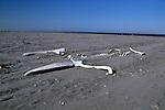 Gray Whale Bones