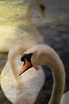 Three swans swimming on lake