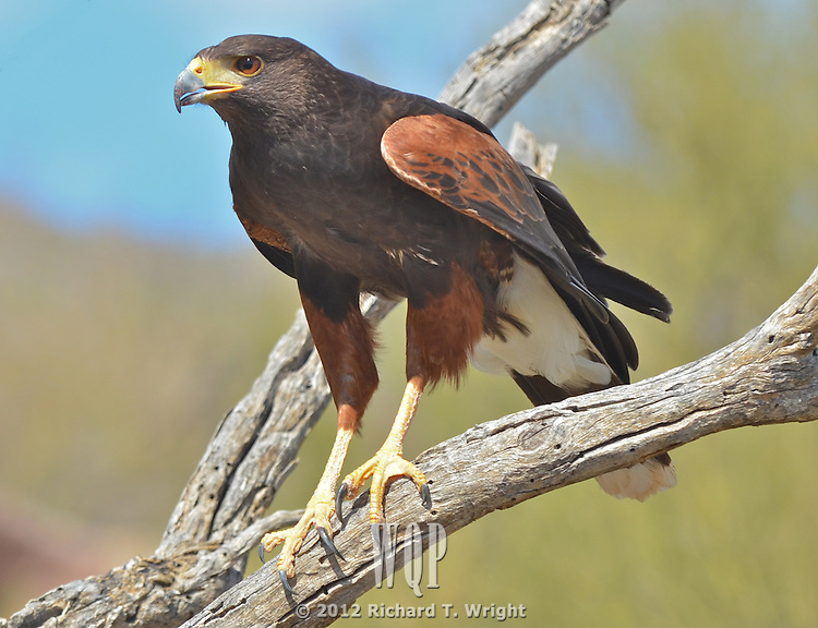 Harris Hawks in the Sonoran Desert