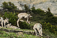 Bighorn sheep lamb frolicking about, June.